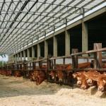 mucche_stalla_alimentazione_420x270